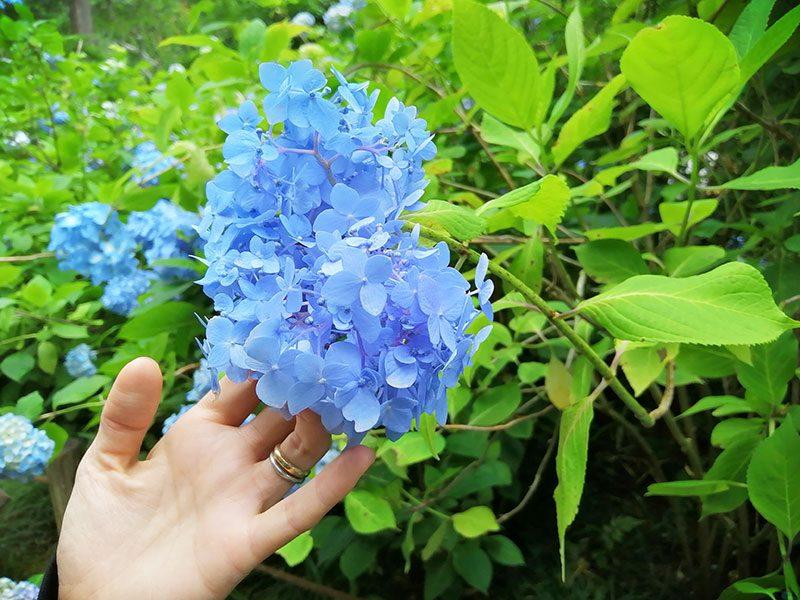 明月院ブルー 明月院の紫陽花