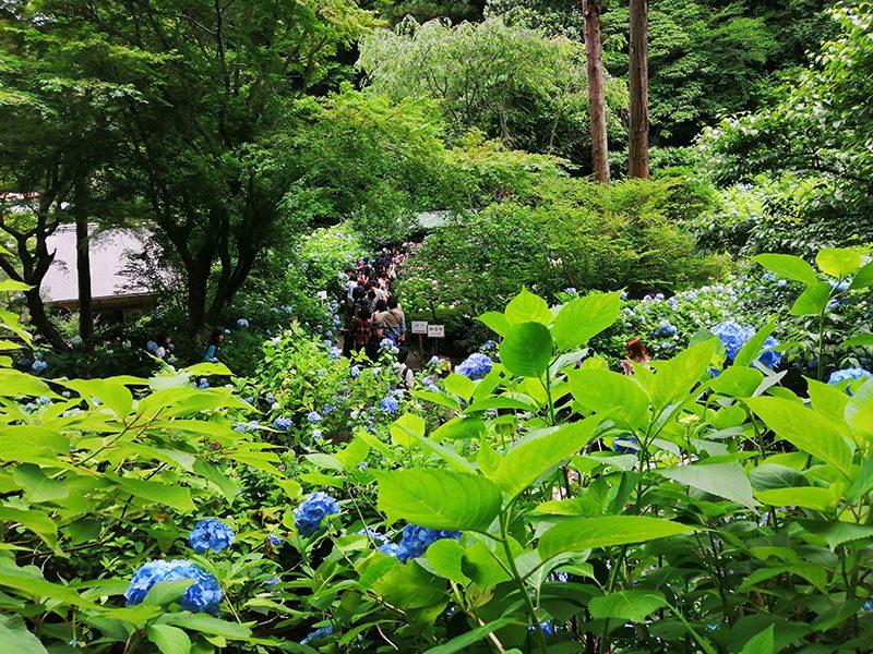 鎌倉 あじさい寺 混雑状況
