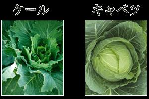 ケールとは?どんな野菜?