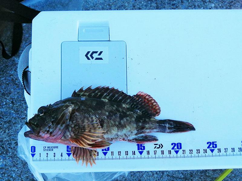 本牧海釣り施設 公園 カサゴは釣れてる?
