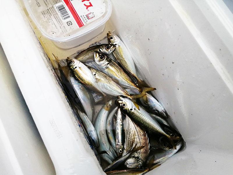 横浜沖 金沢で釣れるアジは金アジ!?