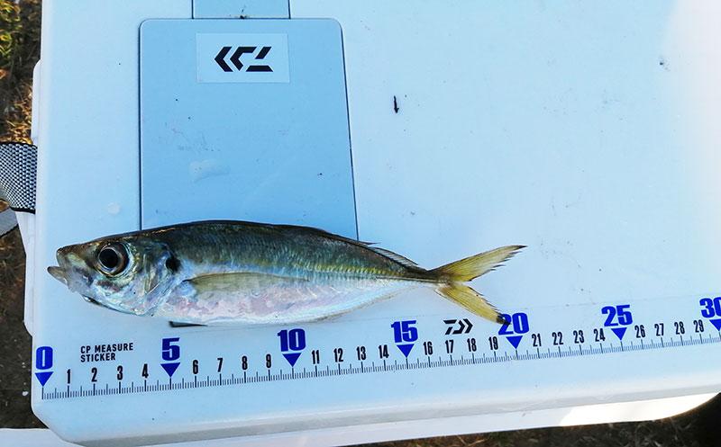 冬でもアジは釣れる?1月でもアジは釣れるの?