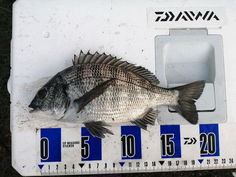 横浜 クロダイが釣れる場所はどこ?